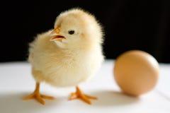 一只黄色小鸡在与开放额嘴的鸡蛋旁边站立 图库摄影