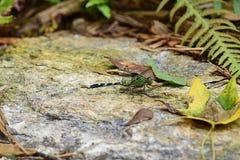 一只绿色母东部Pondhawk蜻蜓 免版税库存照片