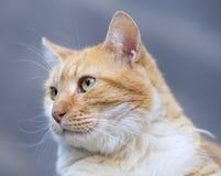 一只黄色猫的画象 免版税图库摄影