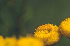 一只黄色英寸蠕虫的宏指令 库存图片