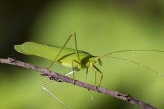 一只绿色蚂蚱的图象在自然背景的 免版税库存图片