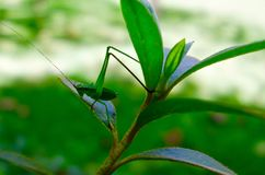 一只绿色蚂蚱的宏指令在叶子的 免版税库存图片