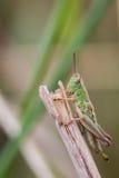 一只绿色蚂蚱的宏观图象在草茎顶部的 库存照片