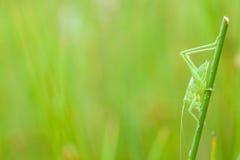 一只绿色蚂蚱 库存照片