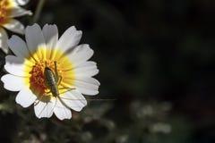 一只绿色蚂蚱 免版税图库摄影