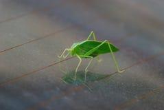 一只绿色蝗虫 免版税图库摄影