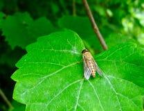 一只黄色马蝇的宏指令坐叶子 库存照片