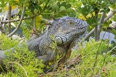 一只绿色鬣鳞蜥的特写镜头 免版税库存照片