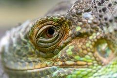 一只绿色鬣鳞蜥的眼睛的特写镜头 绿色igua的特写镜头眼睛 免版税库存照片