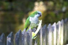 一只绿色鸟金丝雀的膳食在动物园里 免版税库存照片