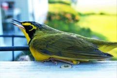 一只黄色鸟 免版税库存图片