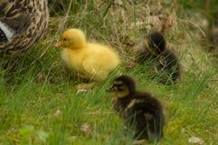 一只黄色鸭子 免版税库存照片