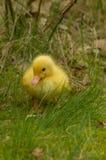 一只黄色鸭子 库存照片