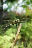 一只绿色蜻蜓 库存照片