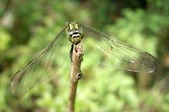 一只绿色蜻蜓 免版税库存照片