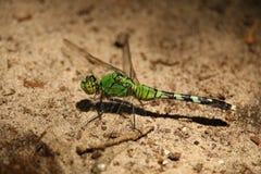 一只绿色蜻蜓 库存图片