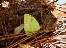 一只黄色蝴蝶的宏指令在杉木森林里 库存图片