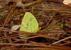 一只黄色蝴蝶的宏指令在杉木森林里 免版税库存照片