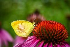 一只黄色蝴蝶 免版税库存照片