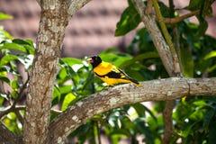 一只黄色黑鸟坐芒果树 免版税图库摄影