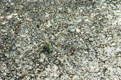 一只蜻蜓的伪装在水泥地板上的 免版税库存照片