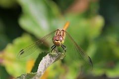 一只蜻蜓的宏指令在树的 免版税库存图片