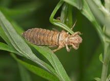 一只蜻蜓的幼虫在蜕变以后的 免版税库存照片
