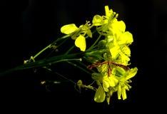 一只蜻蜓的特写镜头在黄色花的 库存图片