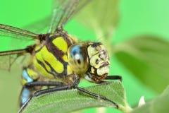 一只蜻蜓的画象在一片绿色叶子的 库存照片