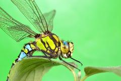 一只蜻蜓的画象在一片绿色叶子的 库存图片