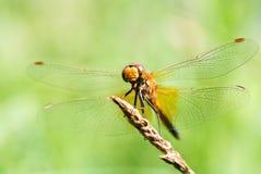 一只蜻蜓的画象在绿色背景的 库存照片