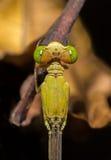 一只蜻蜓 免版税库存照片