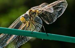 一只蜻蜓 免版税图库摄影