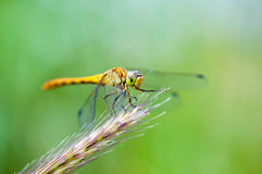 一只蜻蜓(Sympetrum vulgatum)的宏观射击在绿色背景 免版税库存照片