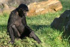 一只黑蜘蛛猴在一个动物园居住在法国 免版税图库摄影