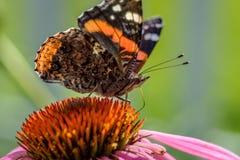 一只蝴蝶的宏指令在一紫色coneflower的 库存图片