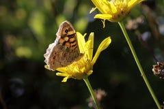 一只蝴蝶的宏指令在黄色花的 库存图片