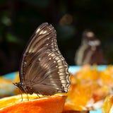 一只蝴蝶的特写镜头在橙色切片的 图库摄影