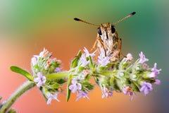 一只蝴蝶的特写镜头在花的 免版税库存照片