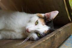 一只说谎的三色猫 免版税库存照片