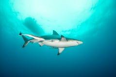 一只黑鳍鲨在开放海洋 免版税库存图片