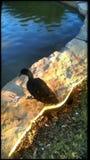 一只黑鸭 库存照片