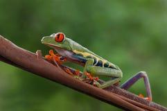 一只bautiful红眼睛的叶子青蛙 免版税库存照片