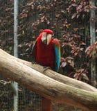 一只besutiful红色ara鹦鹉 免版税库存照片