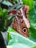 一只caligo atreus蝴蝶的特写镜头在叶子的 图库摄影