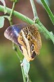 一只caligo atreus蝴蝶的特写镜头在叶子的 免版税库存照片