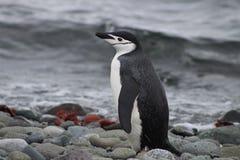 一只chinstrap企鹅的外形在南极洲 库存照片