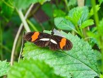 一只heliconius melpomene蝴蝶的特写镜头在叶子的 库存照片