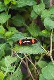 一只heliconius melpomene蝴蝶的特写镜头在叶子的 免版税库存图片