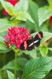一只heliconius melpomene蝴蝶的特写镜头在叶子的 免版税库存照片